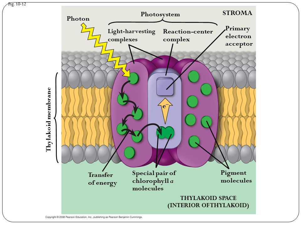 Fig. 10-12 THYLAKOID SPACE (INTERIOR OF THYLAKOID) STROMA e–e– Pigment molecules Photon Transfer of energy Special pair of chlorophyll a molecules Thy