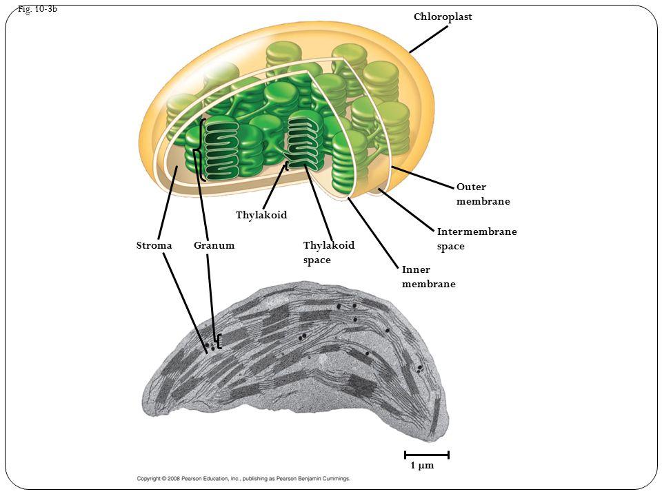 Fig. 10-3b 1 µm Thylakoid space Chloroplast Granum Intermembrane space Inner membrane Outer membrane Stroma Thylakoid