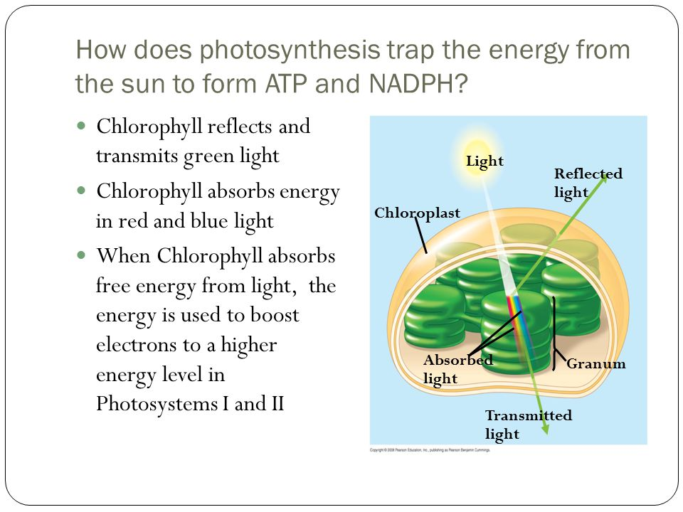 How does photosynthesis trap the energy from the sun to form ATP and NADPH.