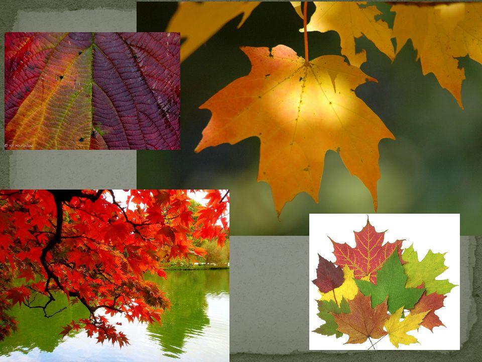 Light regulates chlorophyll production, so as autumn days grow shorter, less chlorophyll is produced.