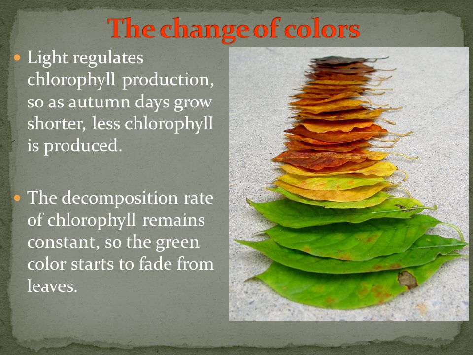 Light regulates chlorophyll production, so as autumn days grow shorter, less chlorophyll is produced.