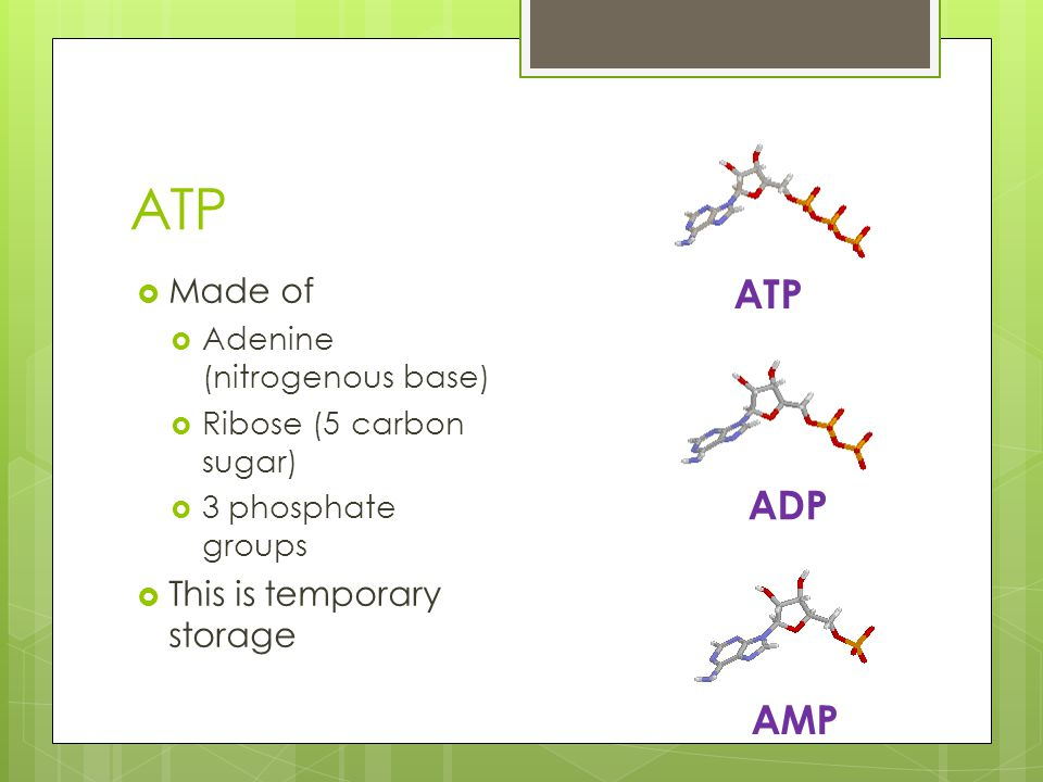ATP  Made of  Adenine (nitrogenous base)  Ribose (5 carbon sugar)  3 phosphate groups  This is temporary storage ATP ADP AMP