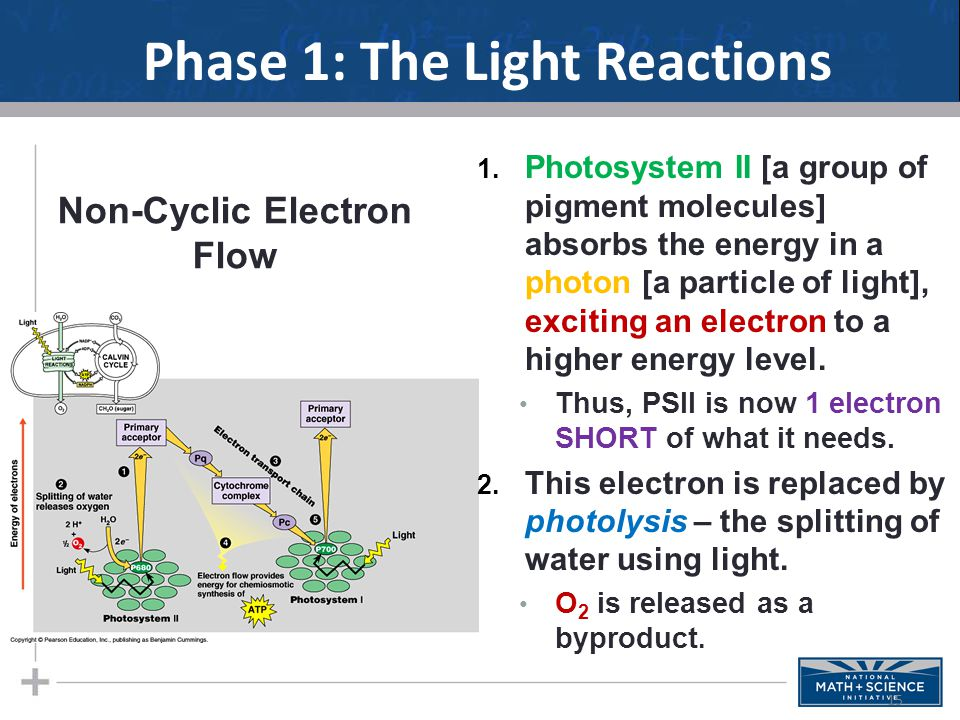 Phase 1: The Light Reactions 1.