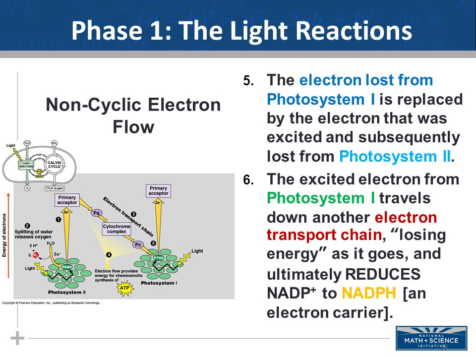 Phase 1: The Light Reactions 5.