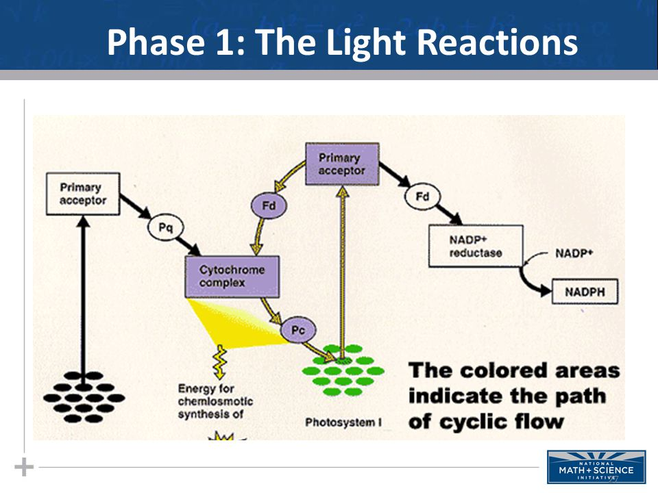 Phase 1: The Light Reactions 27