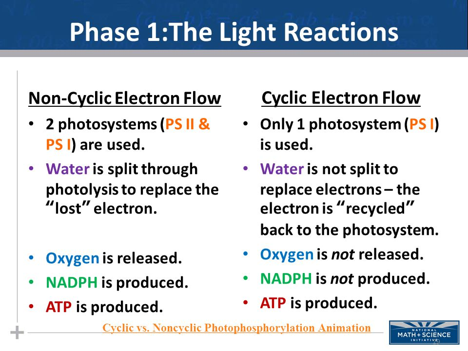 Phase 1:The Light Reactions Non-Cyclic Electron Flow 2 photosystems (PS II & PS I) are used.