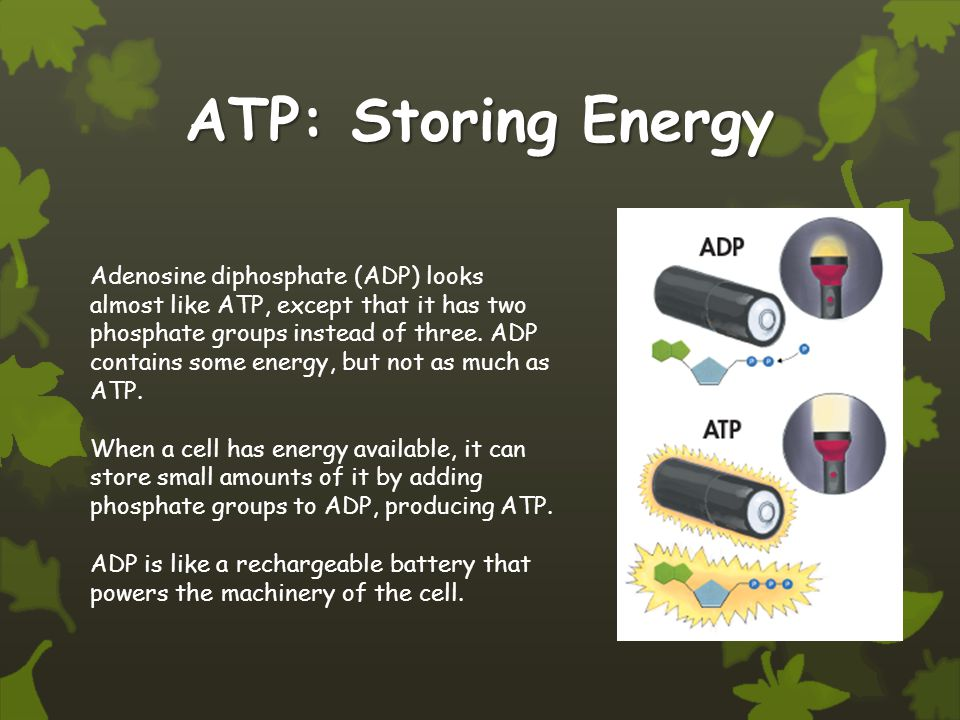 ATP: Storing Energy Adenosine diphosphate (ADP) looks almost like ATP, except that it has two phosphate groups instead of three.