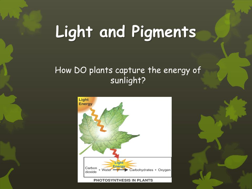 Light and Pigments How DO plants capture the energy of sunlight?