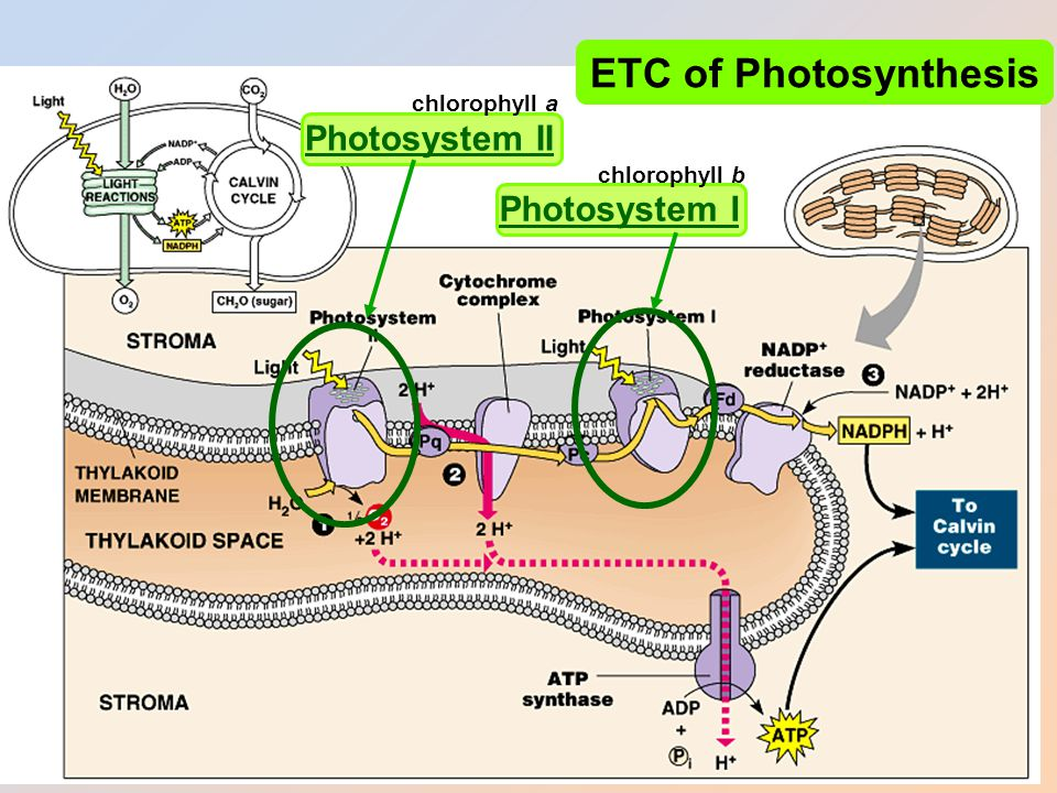 Photosystems of photosynthesis 2 photosystems in thylakoid membrane – collections of chlorophyll molecules – act as light-gathering molecules – Photosystem II chlorophyll a P 680 = absorbs 680nm wavelength red light – Photosystem I chlorophyll b P 700 = absorbs 700nm wavelength red light reaction center antenna pigments
