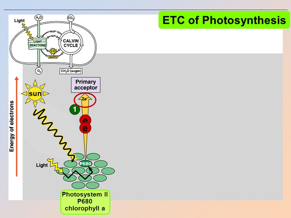 ETC of Photosynthesis Photosystem IIPhotosystem I chlorophyll a chlorophyll b