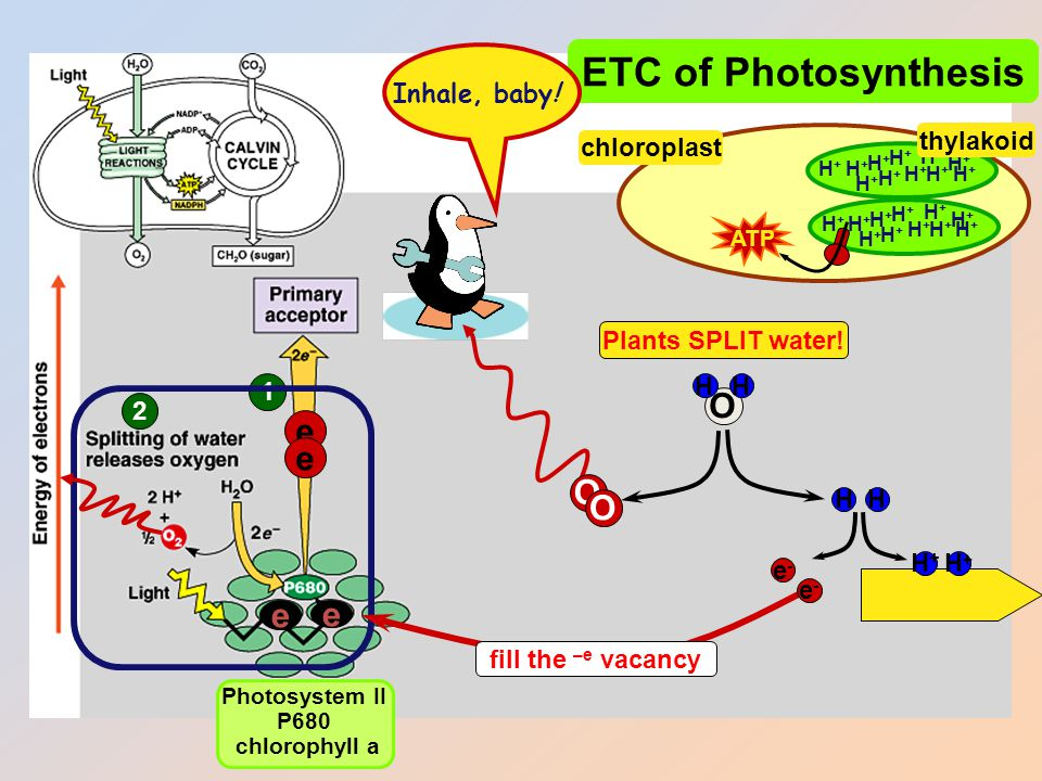 1 ETC of Photosynthesis e e sun Photosystem II P680 chlorophyll a