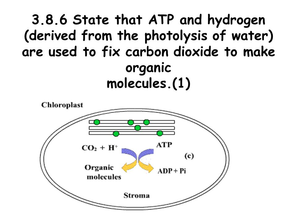 3.8.6 State that ATP and hydrogen (derived from the photolysis of water) are used to fix carbon dioxide to make organic molecules.(1)