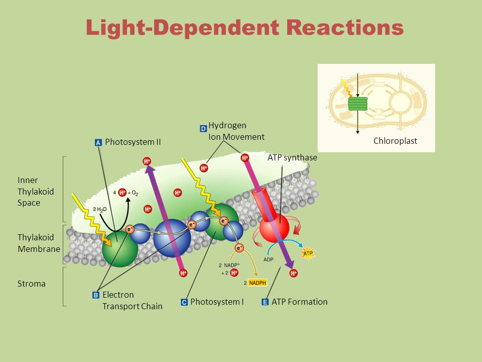 Hydrogen Ion Movement Photosystem II Inner Thylakoid Space Thylakoid Membrane Stroma ATP synthase Electron Transport Chain Photosystem IATP Formation Chloroplast Light-Dependent Reactions