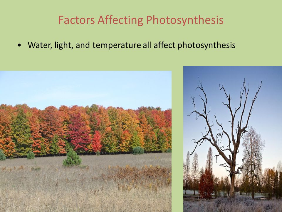 Factors Affecting Photosynthesis Water, light, and temperature all affect photosynthesis