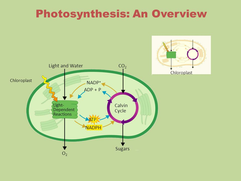 Chloroplast Light and Water O2O2 Sugars CO 2 Light- Dependent Reactions Calvin Cycle NADPH ATP ADP + P NADP + Chloroplast Photosynthesis: An Overview