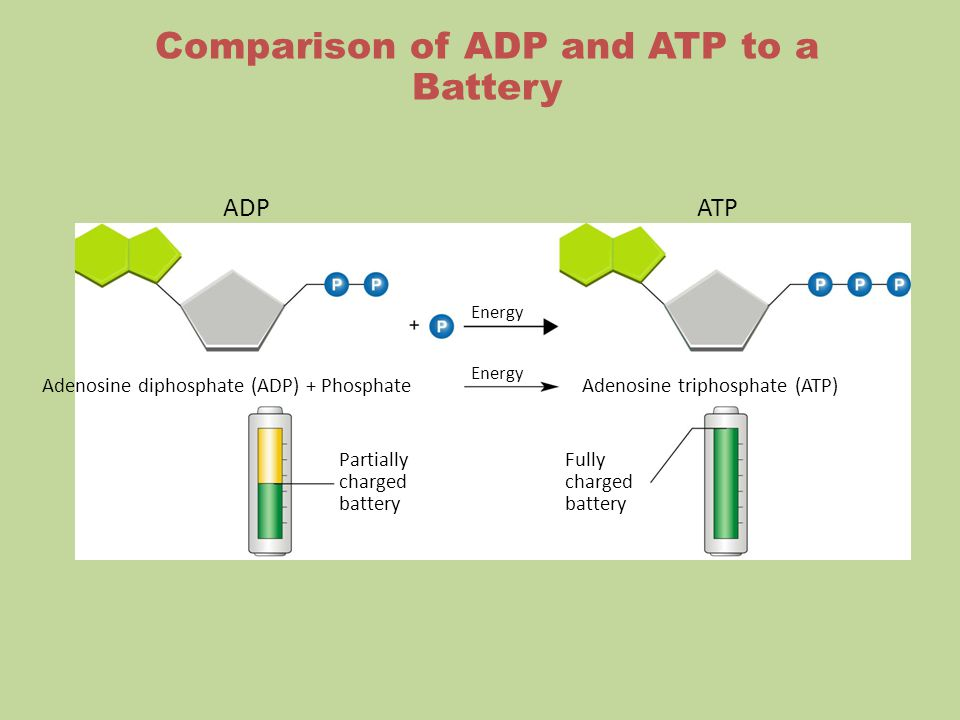 ADPATP Energy Adenosine diphosphate (ADP) + PhosphateAdenosine triphosphate (ATP) Partially charged battery Fully charged battery Comparison of ADP and ATP to a Battery