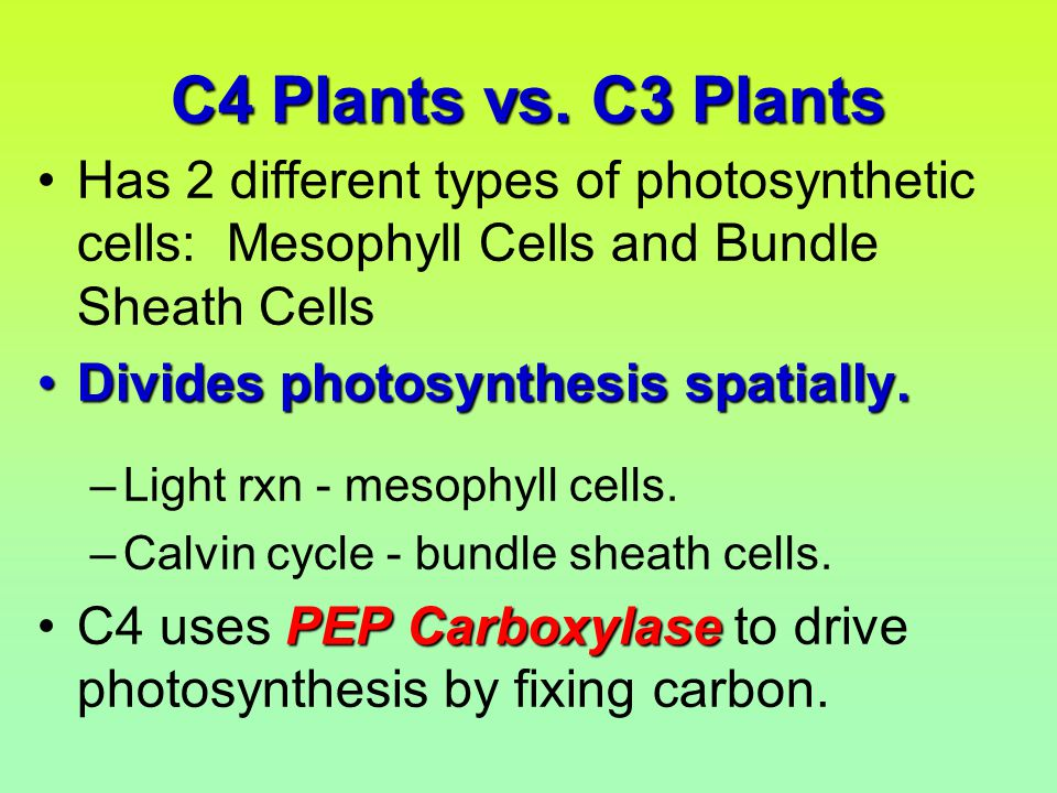 C4 Plants vs. C3 Plants Has 2 different types of photosynthetic cells: Mesophyll Cells and Bundle Sheath Cells Divides photosynthesis spatially.Divide