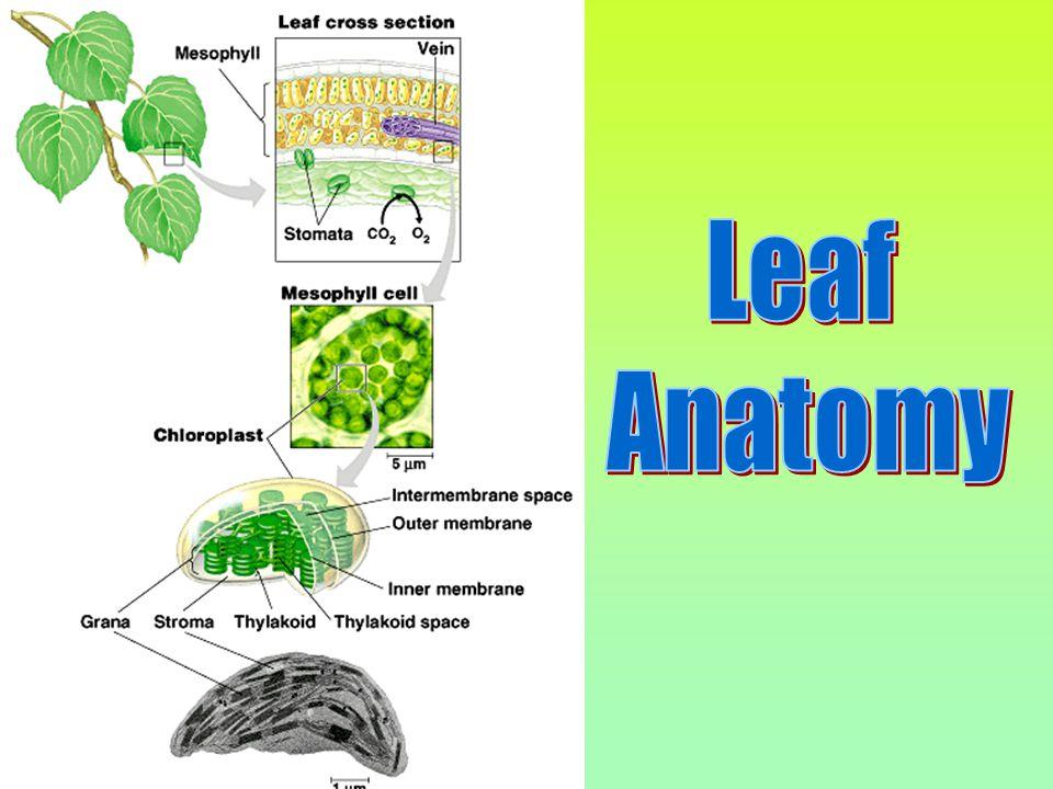 Plants Autotrophs:Autotrophs: self-producers.
