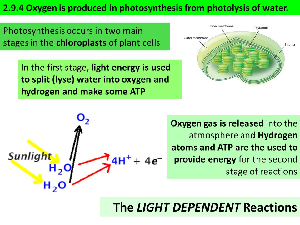 2.9.4 Oxygen is produced in photosynthesis from photolysis of water.