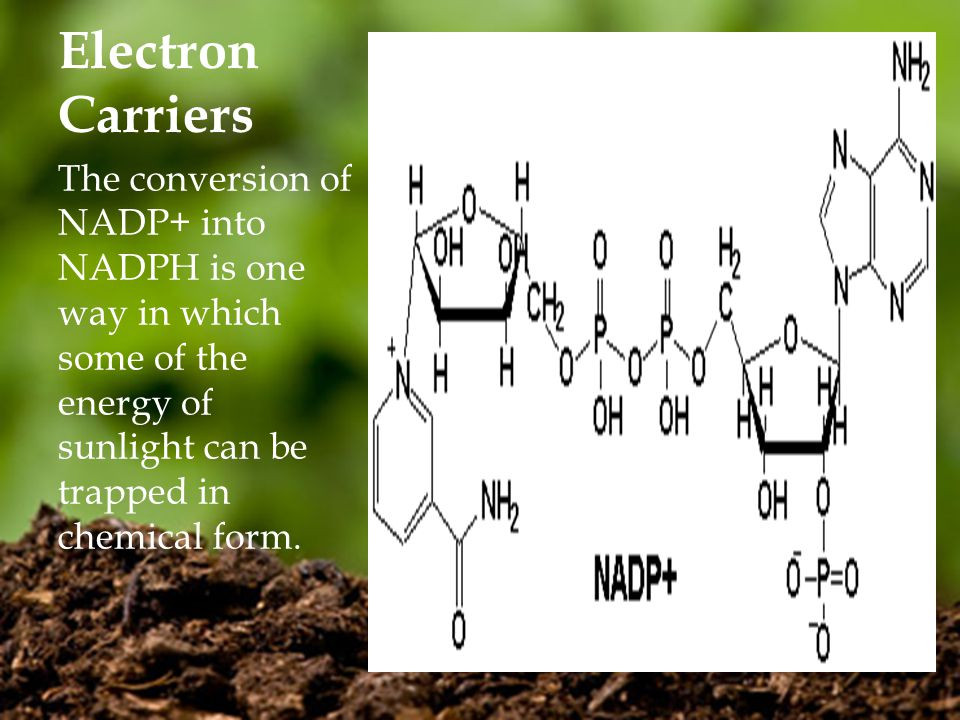 Electron Carriers The conversion of NADP+ into NADPH is one way in which some of the energy of sunlight can be trapped in chemical form.