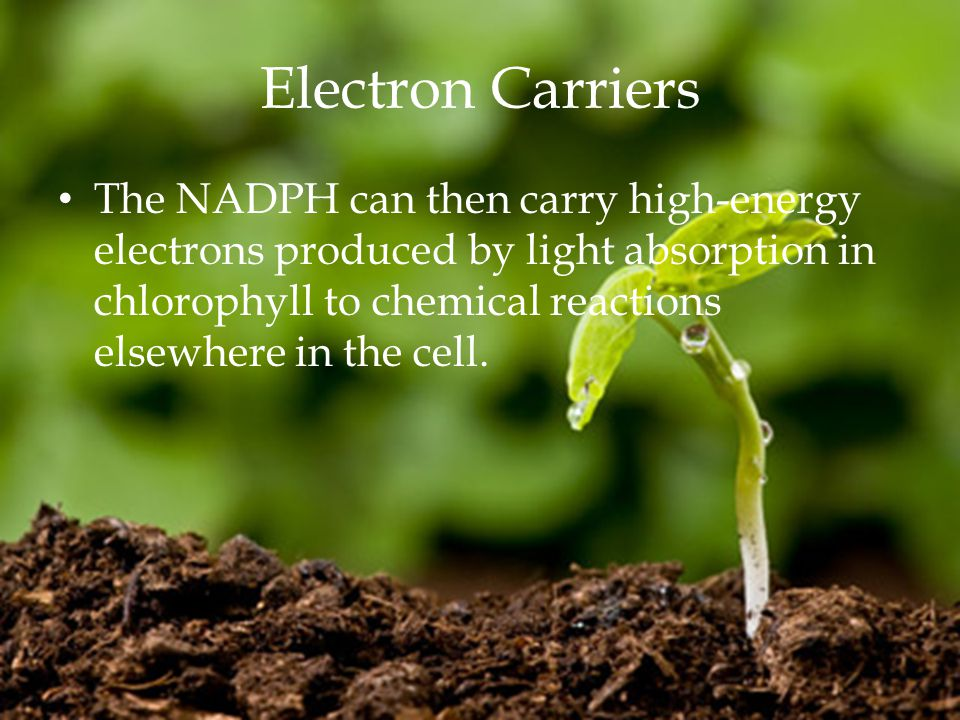 Electron Carriers The NADPH can then carry high-energy electrons produced by light absorption in chlorophyll to chemical reactions elsewhere in the cell.