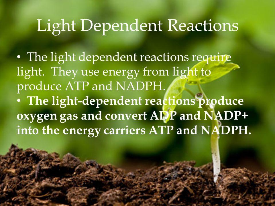Light Dependent Reactions The light dependent reactions require light.