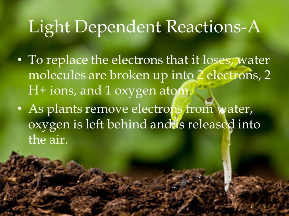 Light Dependent Reactions-A To replace the electrons that it loses, water molecules are broken up into 2 electrons, 2 H+ ions, and 1 oxygen atom.