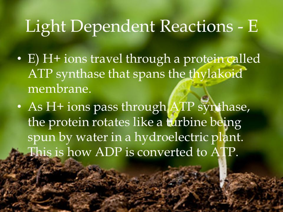 Light Dependent Reactions - E E) H+ ions travel through a protein called ATP synthase that spans the thylakoid membrane.
