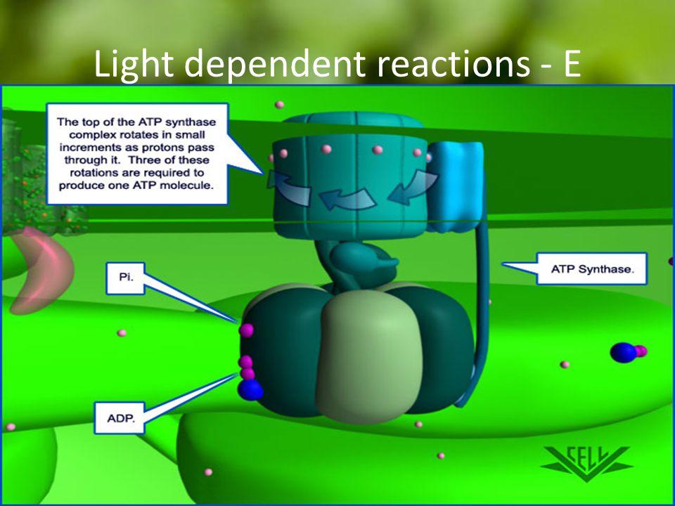 Light dependent reactions - E