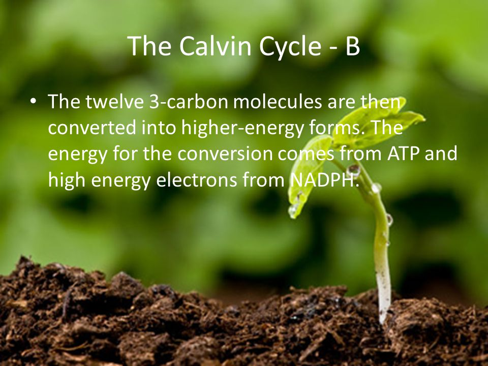 The Calvin Cycle - B The twelve 3-carbon molecules are then converted into higher-energy forms.