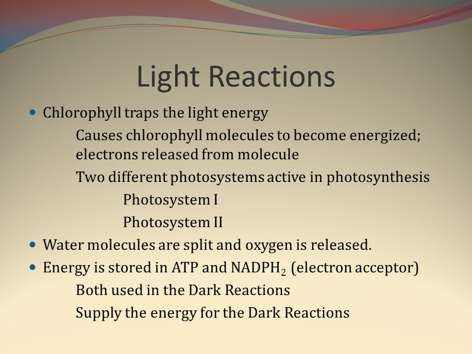 Light Reactions Chlorophyll traps the light energy Causes chlorophyll molecules to become energized; electrons released from molecule Two different ph