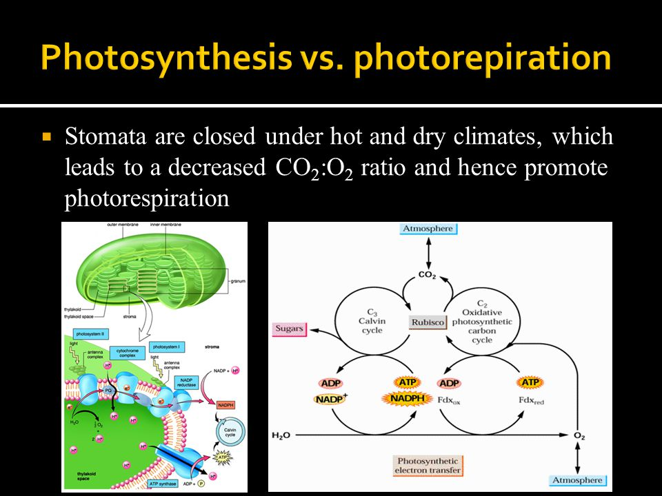  Stomata are closed under hot and dry climates, which leads to a decreased CO 2 :O 2 ratio and hence promote photorespiration