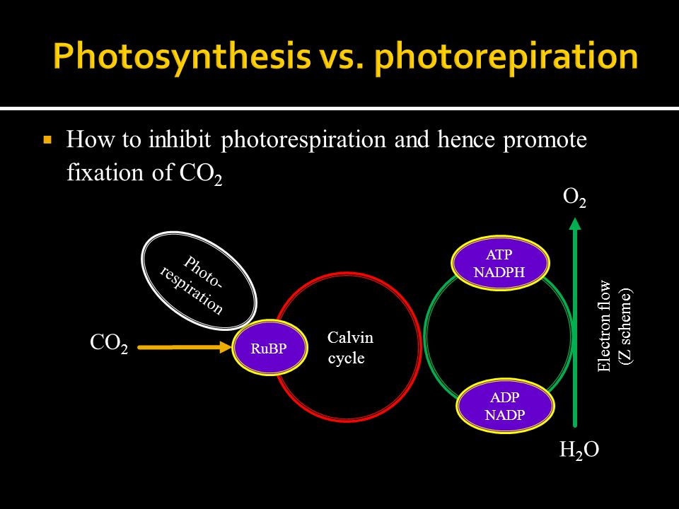  How to inhibit photorespiration and hence promote fixation of CO 2 ADP NADP ATP NADPH Electron flow (Z scheme) H2OH2O O2O2 Calvin cycle CO 2 RuBP Photo- respiration