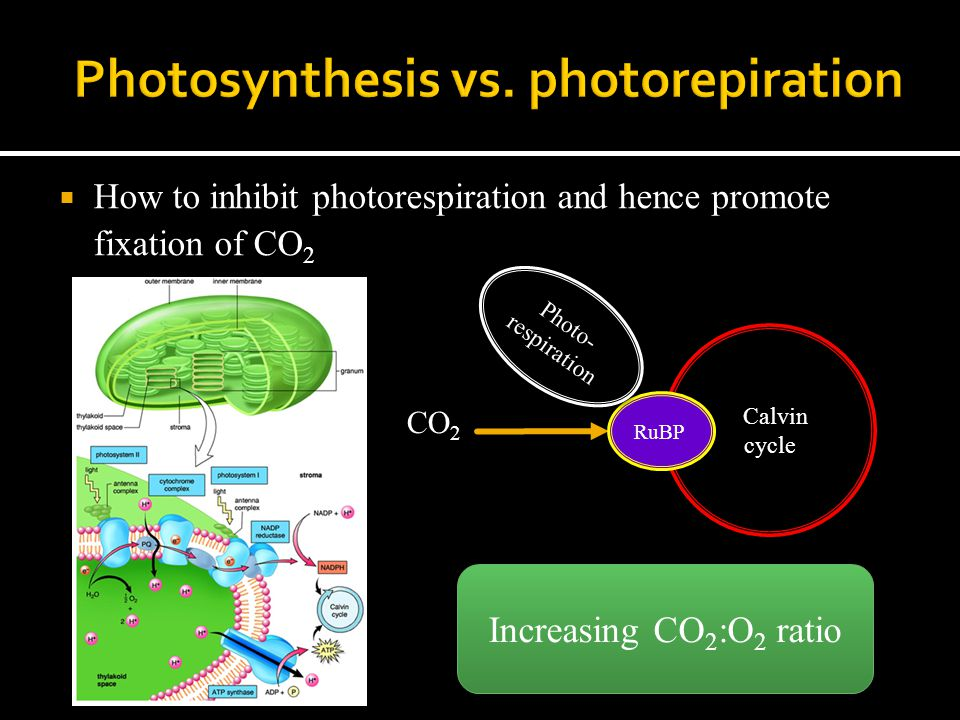  How to inhibit photorespiration and hence promote fixation of CO 2 Calvin cycle CO 2 RuBP Photo- respiration Increasing CO 2 :O 2 ratio