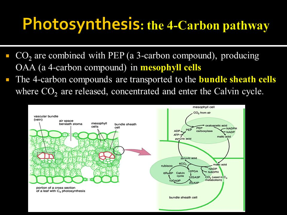  CO 2 are combined with PEP (a 3-carbon compound), producing OAA (a 4-carbon compound) in mesophyll cells  The 4-carbon compounds are transported to the bundle sheath cells where CO 2 are released, concentrated and enter the Calvin cycle.