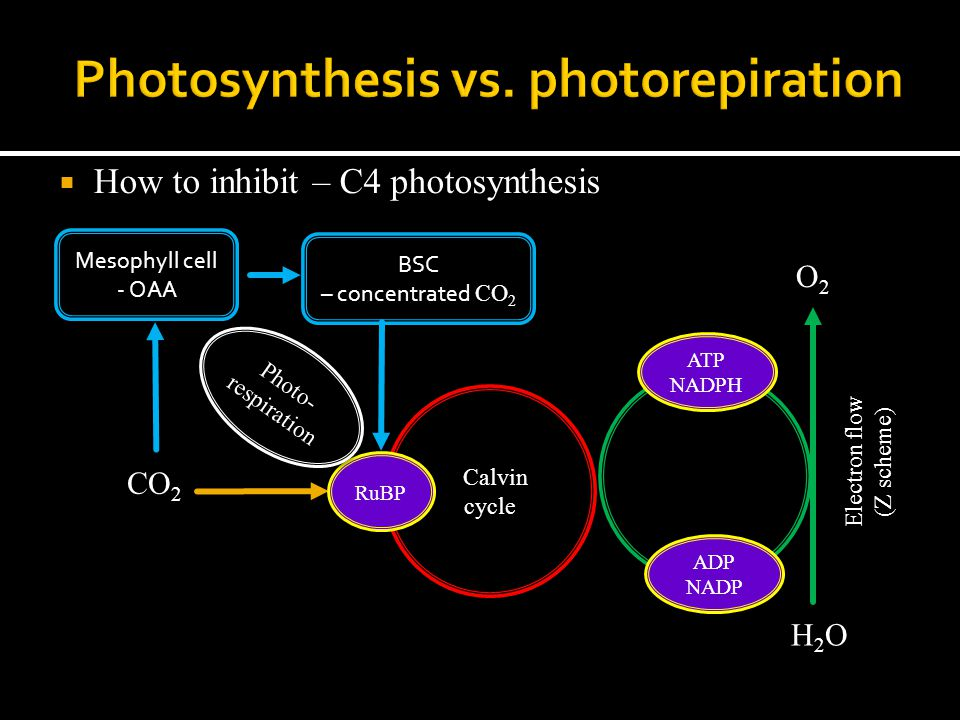  How to inhibit – C4 photosynthesis ADP NADP ATP NADPH Electron flow (Z scheme) H2OH2O O2O2 Calvin cycle CO 2 RuBP Photo- respiration Mesophyll cell - OAA BSC – concentrated CO 2