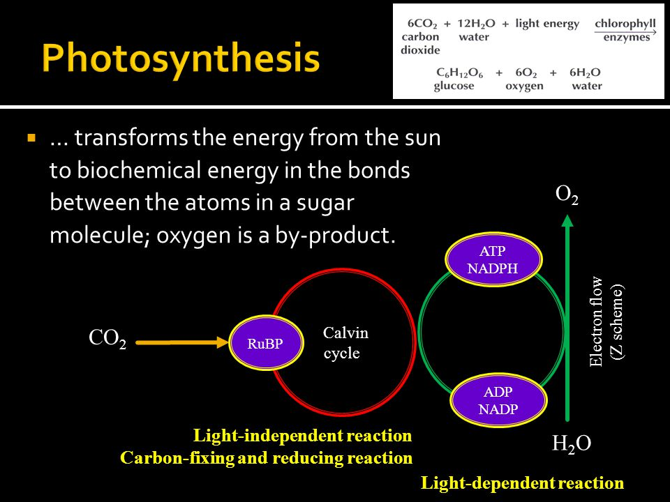  … transforms the energy from the sun to biochemical energy in the bonds between the atoms in a sugar molecule; oxygen is a by-product.