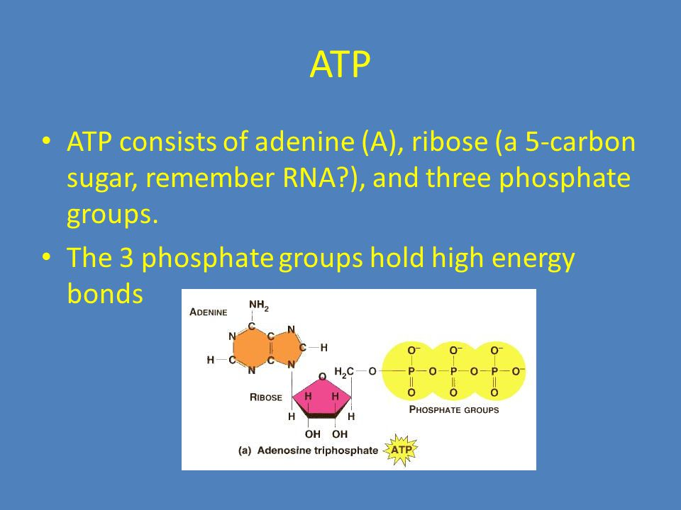 ATP ATP consists of adenine (A), ribose (a 5-carbon sugar, remember RNA ), and three phosphate groups.
