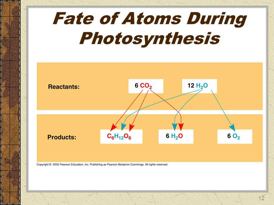 Fate of Atoms During Photosynthesis 12