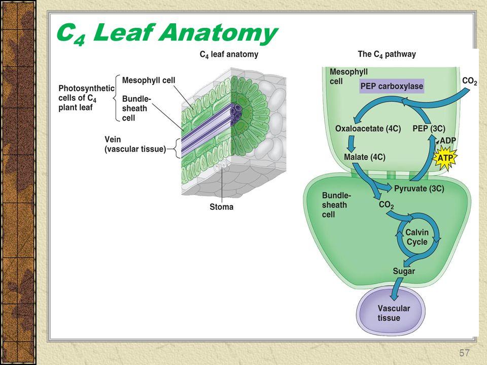 C 4 Leaf Anatomy 57