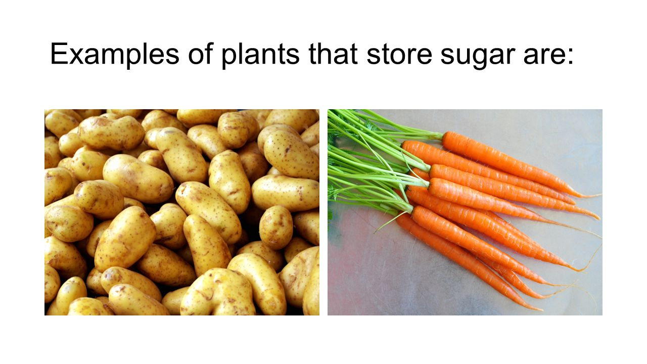 Examples of plants that store sugar are: