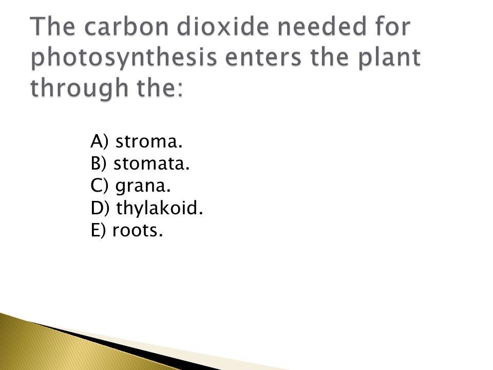 A) stroma. B) stomata. C) grana. D) thylakoid. E) roots.