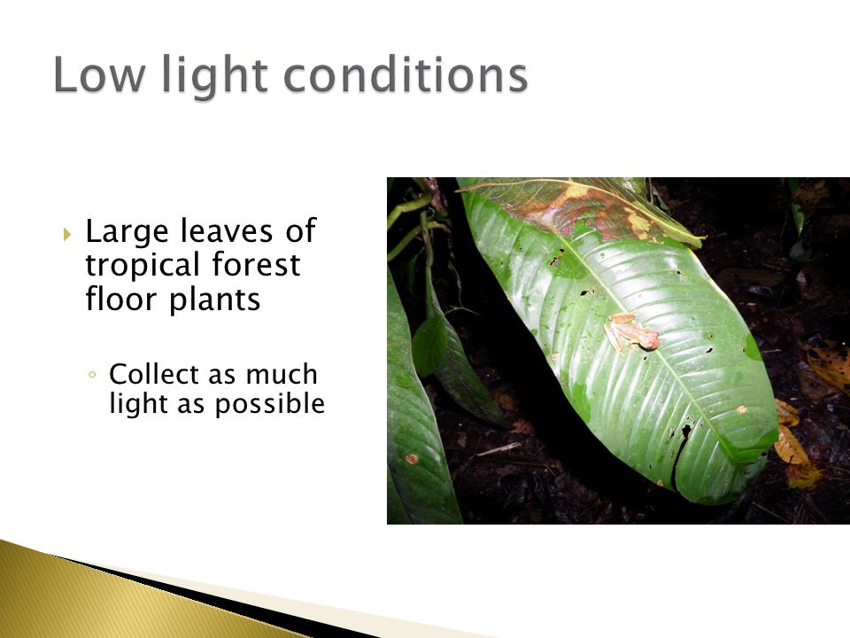  Large leaves of tropical forest floor plants ◦ Collect as much light as possible