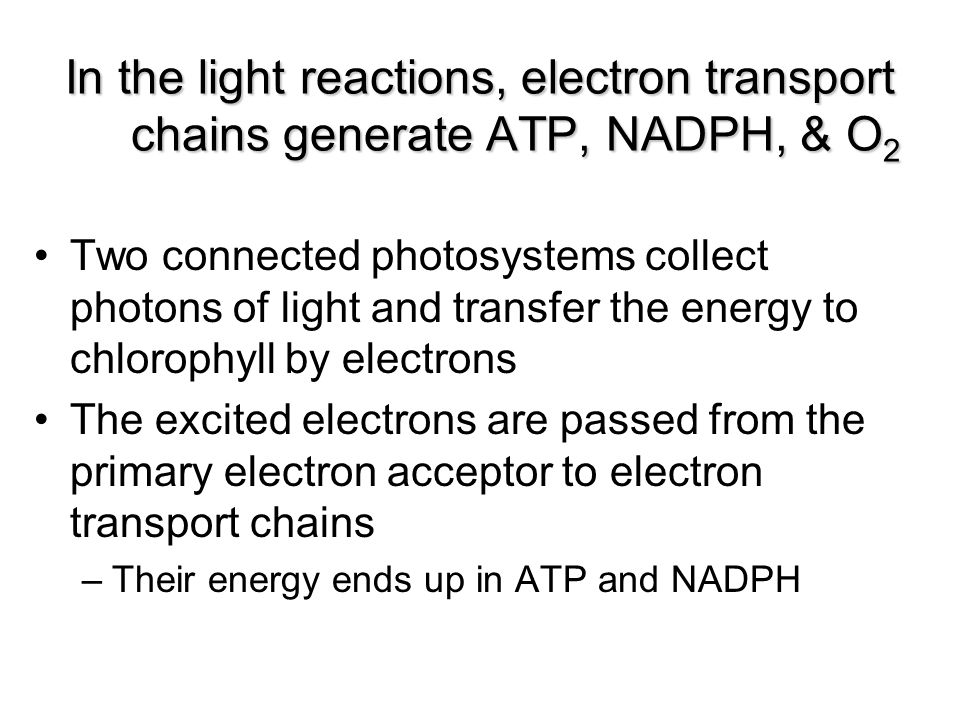 Two connected photosystems collect photons of light and transfer the energy to chlorophyll by electrons The excited electrons are passed from the prim