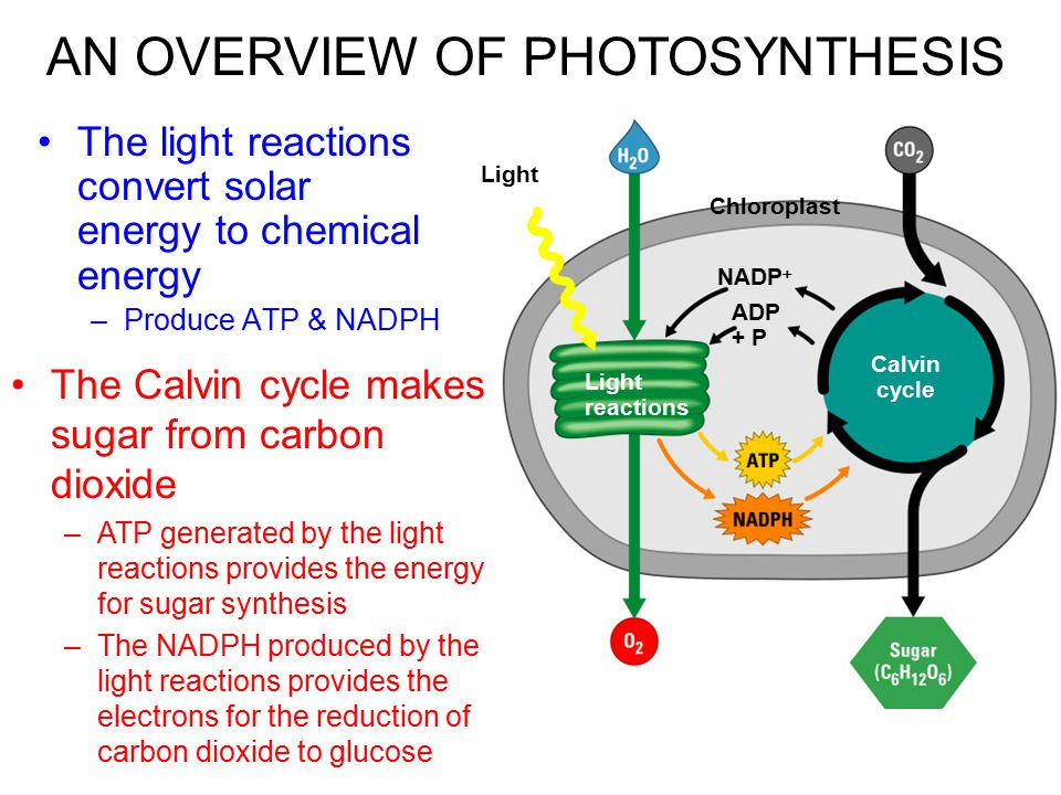 In most plants, photosynthesis occurs primarily in the leaves, in the chloroplasts A chloroplast contains: –stroma, a fluid –grana, stacks of thylakoids The thylakoids contain chlorophyll –Chlorophyll is the green pigment that captures light for photosynthesis Photosynthesis occurs in chloroplasts