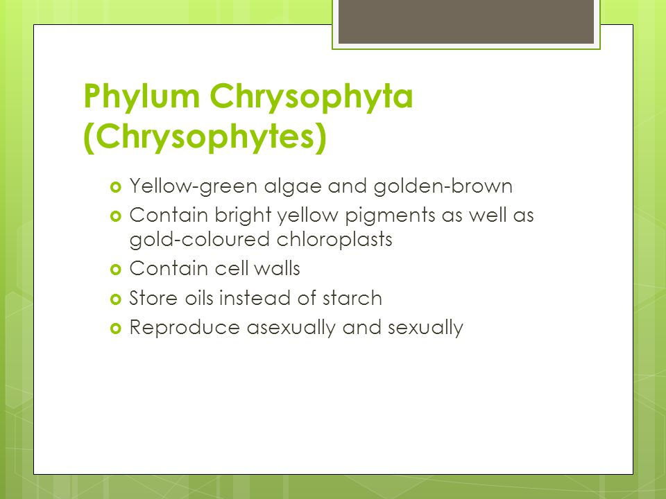Phylum Chrysophyta (Chrysophytes)  Yellow-green algae and golden-brown  Contain bright yellow pigments as well as gold-coloured chloroplasts  Conta