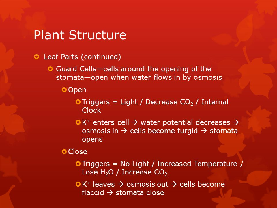 Plant Structure  Leaf Parts (continued)  Guard Cells—cells around the opening of the stomata—open when water flows in by osmosis  Open  Triggers = Light / Decrease CO 2 / Internal Clock  K + enters cell  water potential decreases  osmosis in  cells become turgid  stomata opens  Close  Triggers = No Light / Increased Temperature / Lose H 2 O / Increase CO 2  K + leaves  osmosis out  cells become flaccid  stomata close