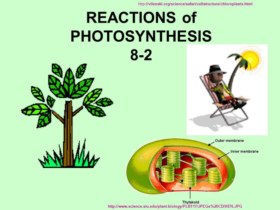 red Chlorophyll a Chlorophyll b Absorption of Light by Chlorophyll a and Chlorophyll b © Pearson Education, Inc.