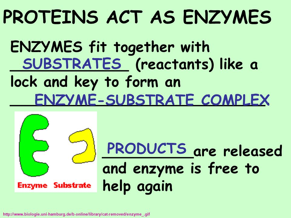 PROTEINS ACT AS ENZYMES ENZYMES fit together with _____________ (reactants) like a lock and key to form an ____________________________. __________are