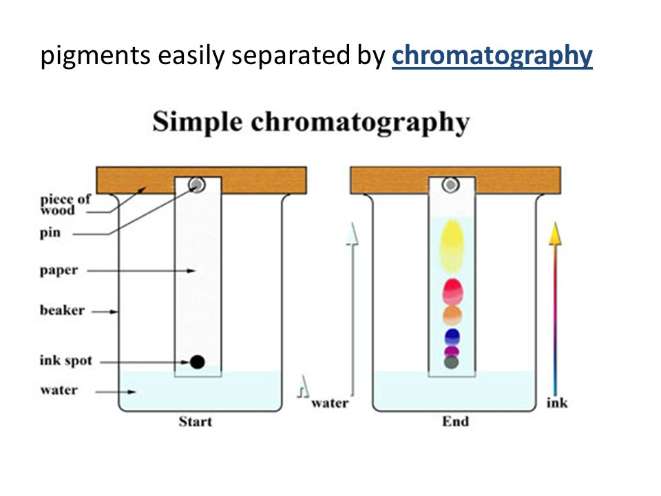 pigments easily separated by chromatography
